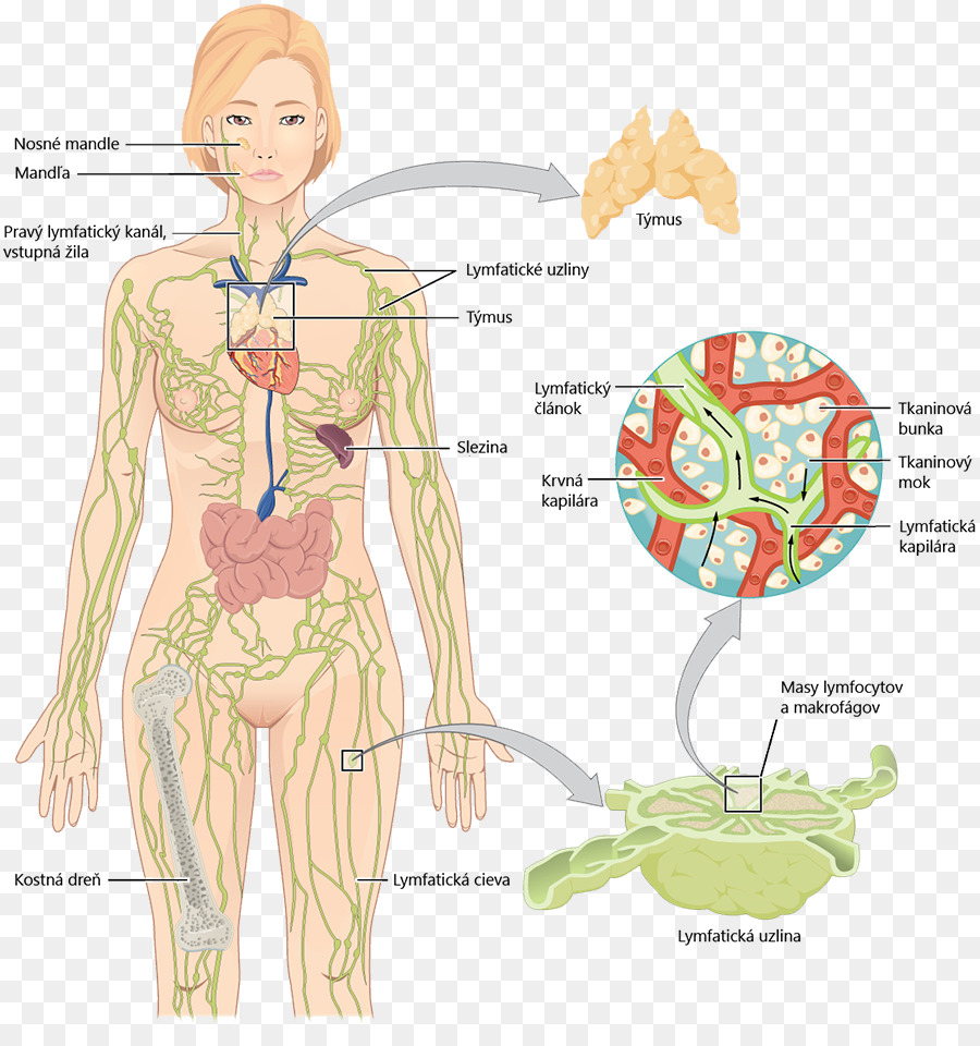 Lymphatic system Lymphatic vessel Anatomy Human body - lung png ...