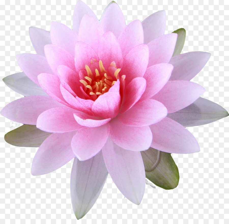 Nelumbo nucifera Buddhism Buddhist symbolism Flower - lily png download - 1200*1152 - Free Transparent Nelumbo Nucifera png Download.