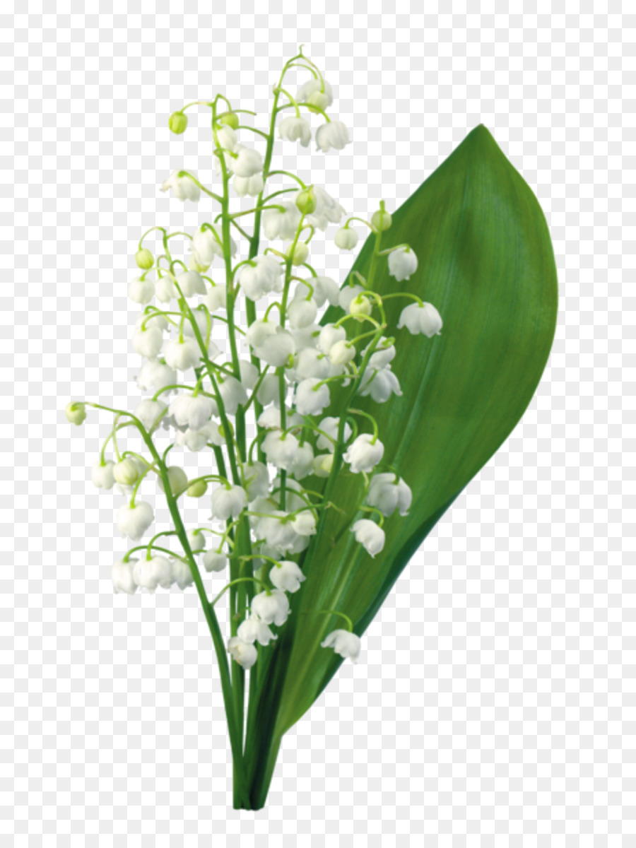 Lily of the valley may 1 symbol gypsophila png download 8001192 lily of the valley may 1 symbol gypsophila izmirmasajfo