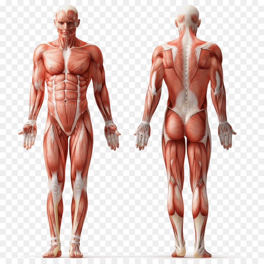 Human Anatomy Muscle Human Body Muscular System Muscle Png