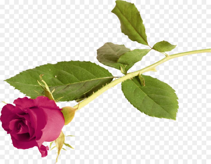 La Rose De L Amour De La Fleur De La Gratitude Lilas
