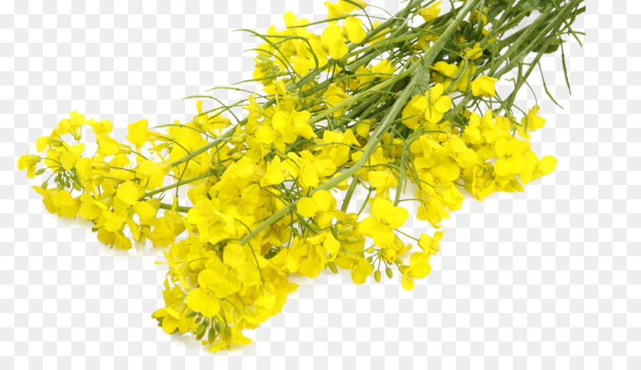 mustard plant rapeseed canola flower sunflower oil png download