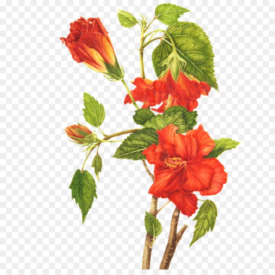Shoeblackplant Botanical Illustration Common Hibiscus Botany