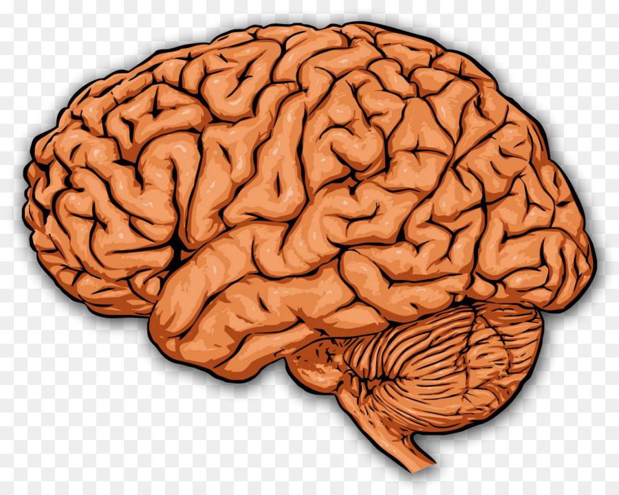 The prefrontal cortex Human brain Cerebral cortex - human png ...