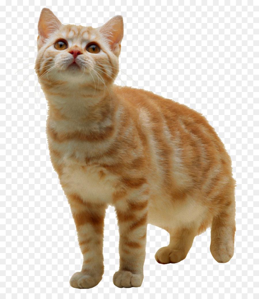 Kitten American Wirehair Clip art - purse png download - 798*1024 ...