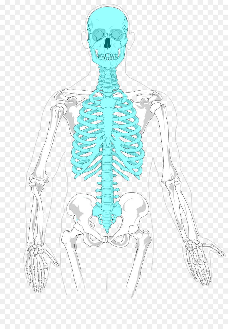Axial skeleton Human skeleton Appendicular skeleton Bone - anatomy ...