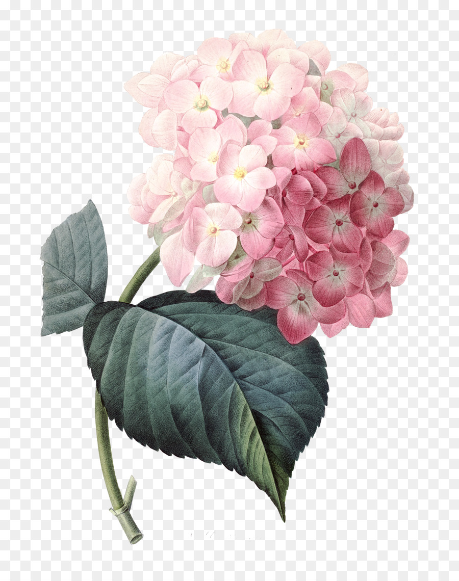 French Hydrangea Pink Flowers Clip Art Watercolor Roses Png
