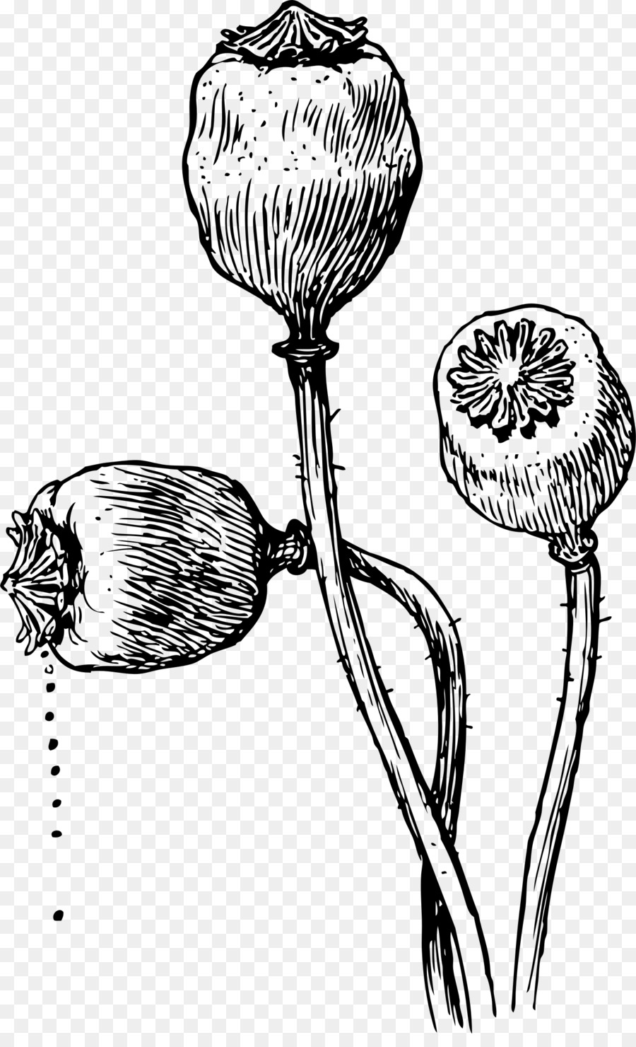 Opium Poppy Drawing Poppy Seed Poppy Png Download 14782400