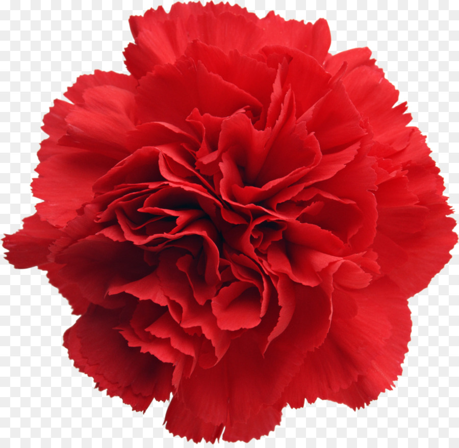Birth Flower Carnation January Birthstone Peony