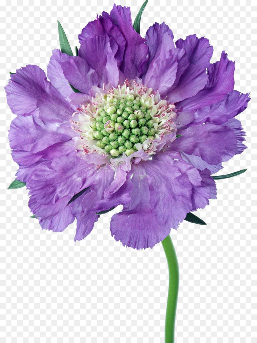 Cut flowers aster daisy family chrysanthemum purple flowers png cut flowers aster daisy family chrysanthemum purple flowers izmirmasajfo
