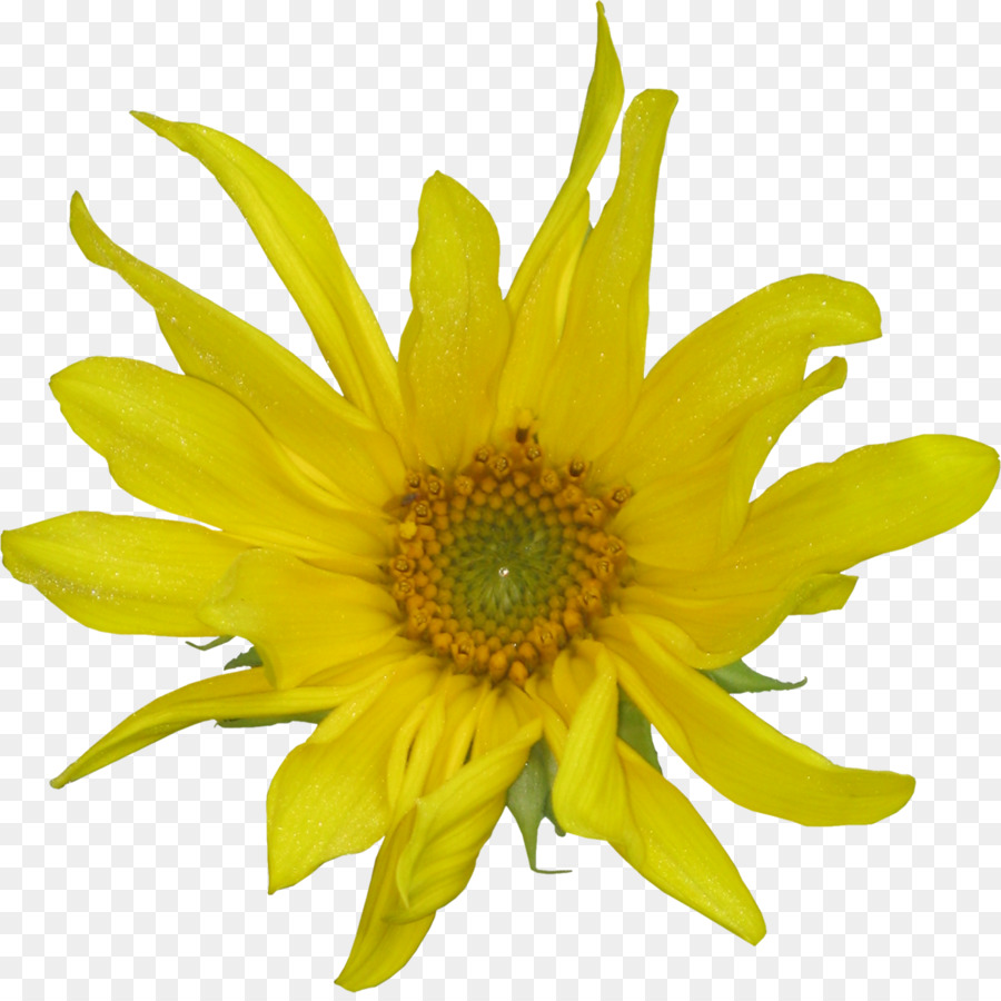 Common Sunflower Petal Cut Flowers Daisy Family Flower Yellow Png