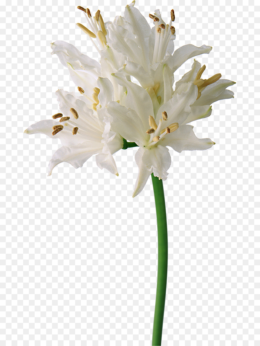 Flower white lily png download 7371200 free transparent plant flower white lily izmirmasajfo