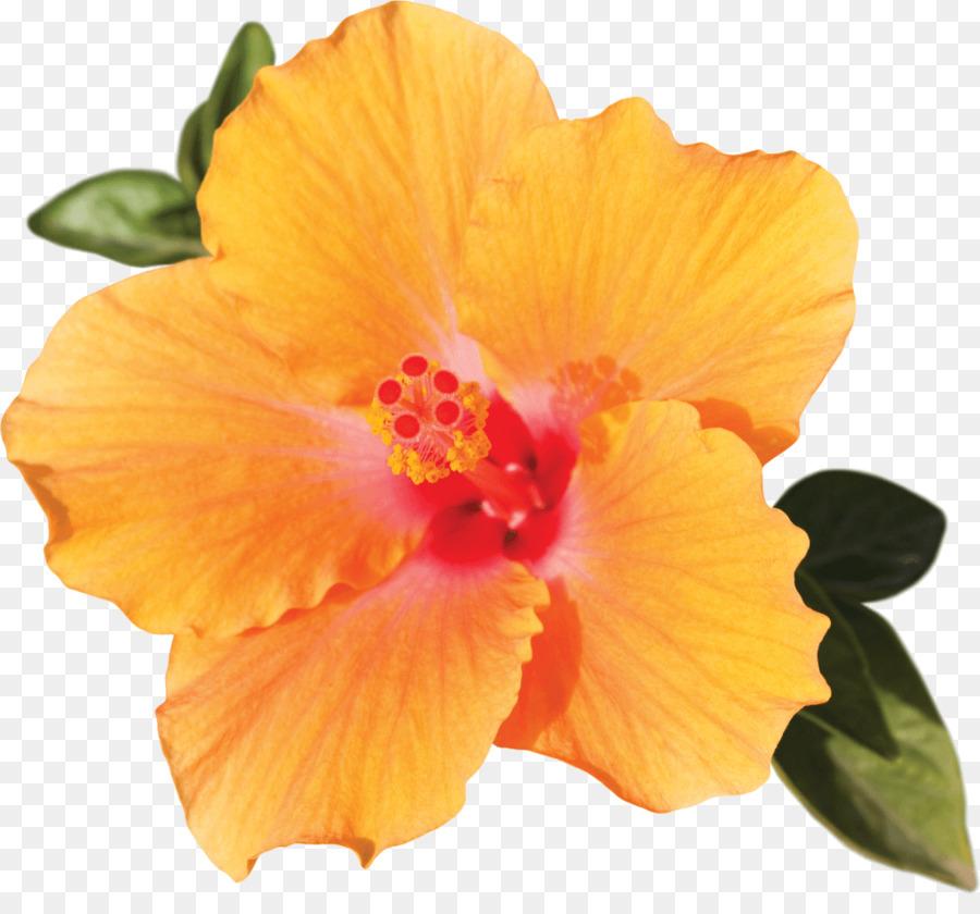 Shoeblackplant Flower Light Petal Hibiscus Flower Png Download