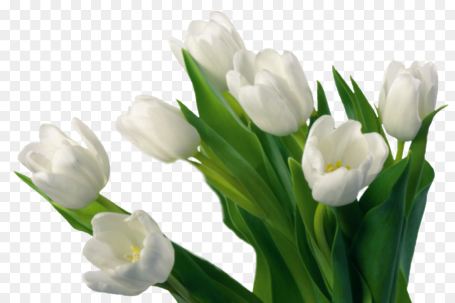Flower desktop wallpaper plant symbolism tulipa gesneriana tulip flower desktop wallpaper plant symbolism tulipa gesneriana tulip mightylinksfo