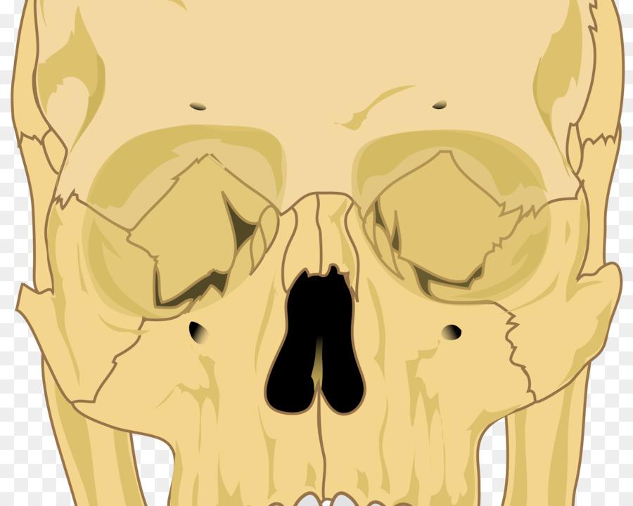 Cráneo esqueleto Humano Huesos Anatomía - skulls Formatos De Archivo ...