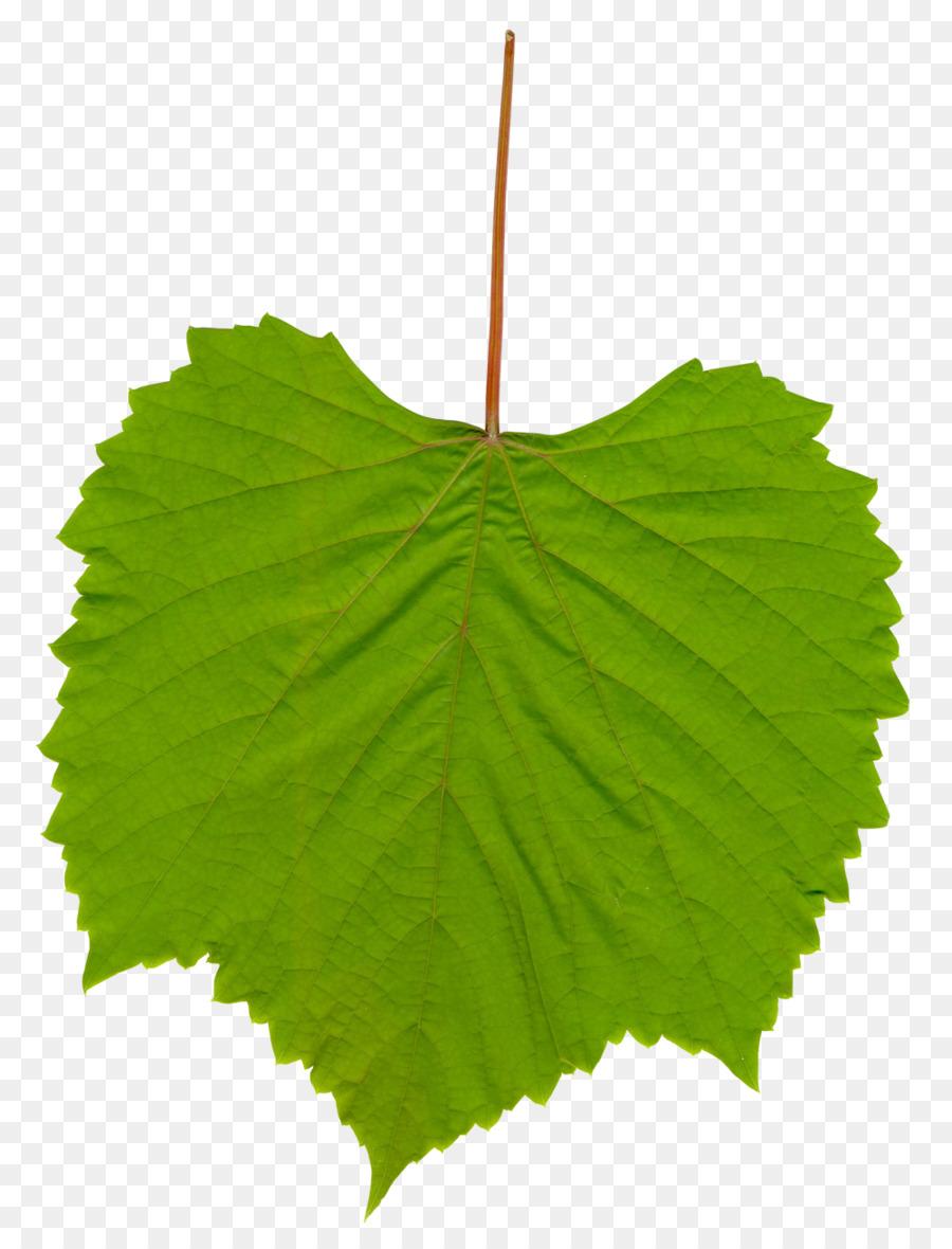 Common Grape Vine Wine Leaves Clip Art