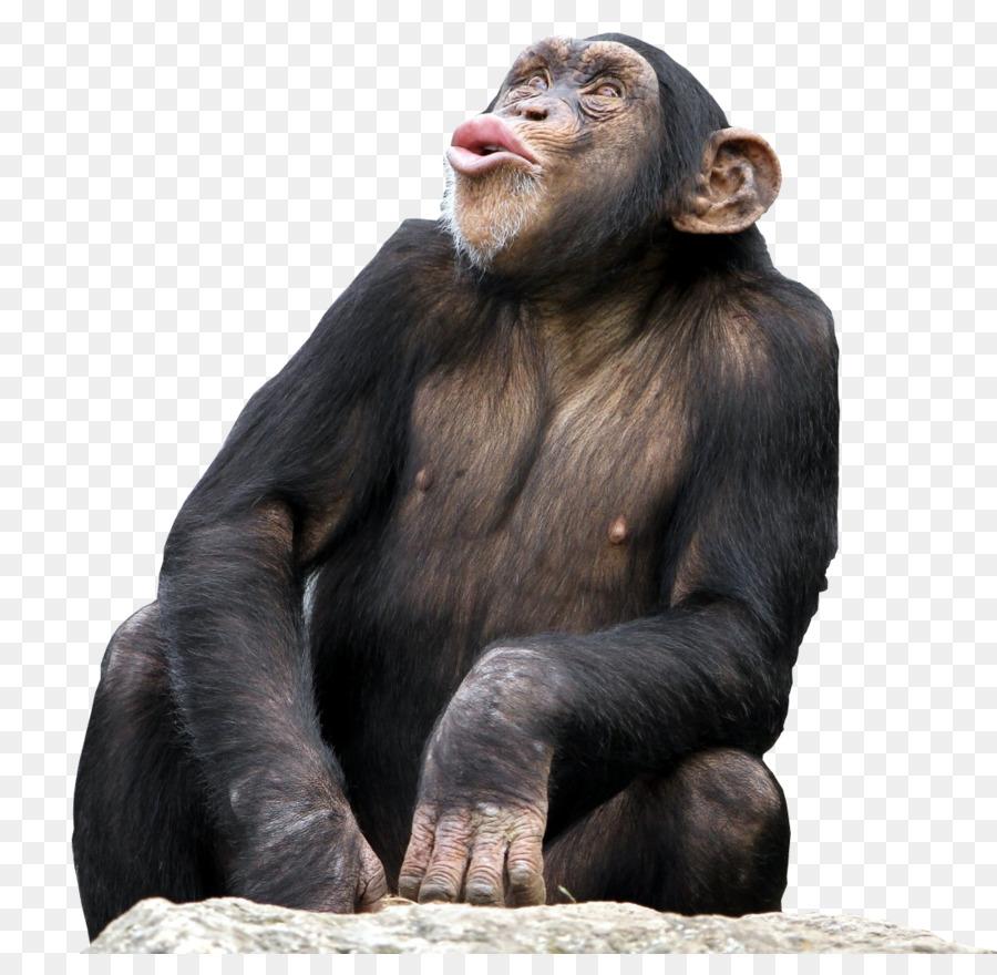 C For Chimpanzee Bonobo Common c...
