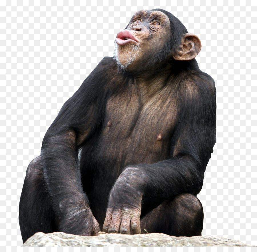 Bonobo Common Chimpanzee The Third Chimpanzee Desktop
