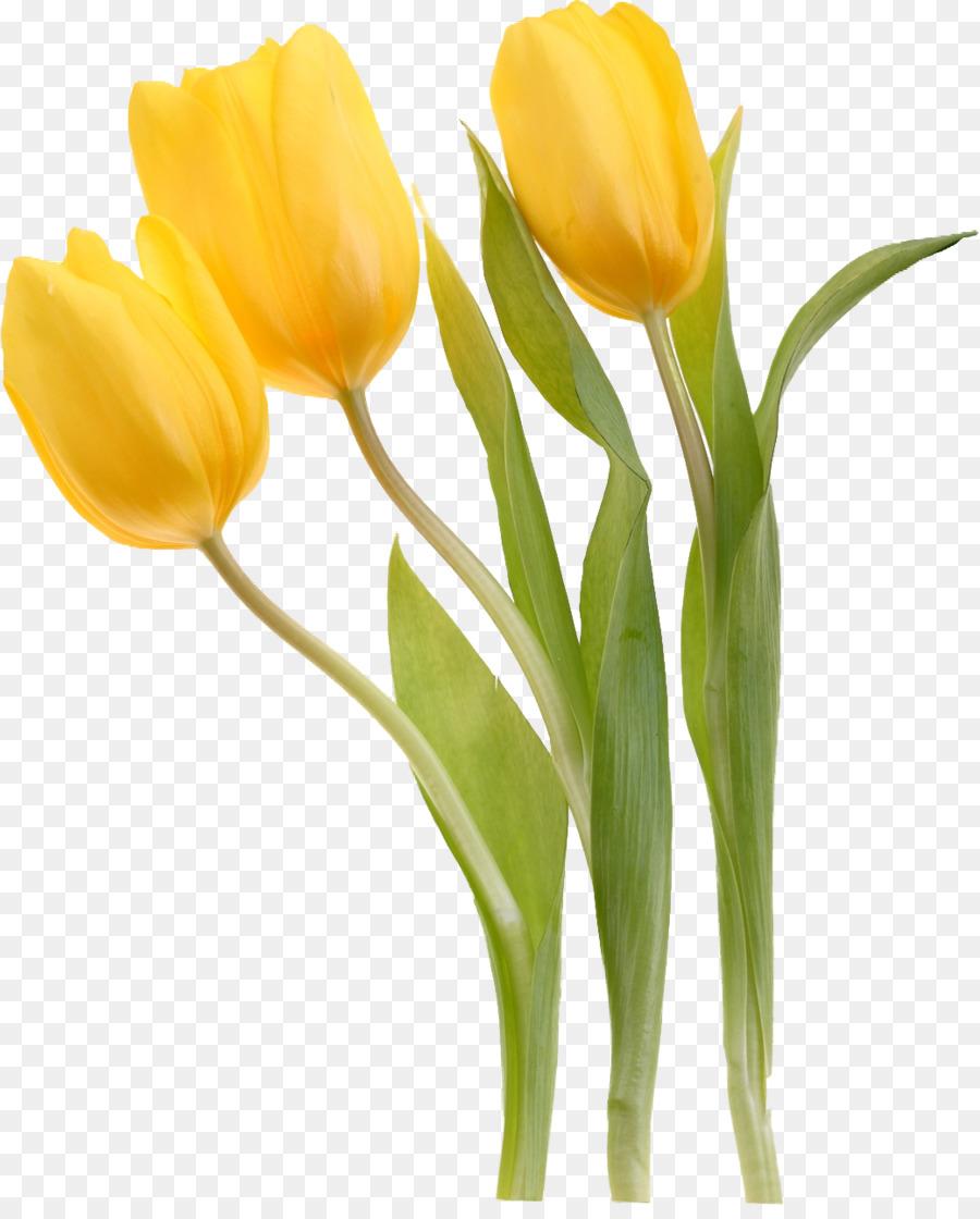 Tulipa sylvestris flower yellow plant tulip png download 1039 tulipa sylvestris flower yellow plant tulip mightylinksfo