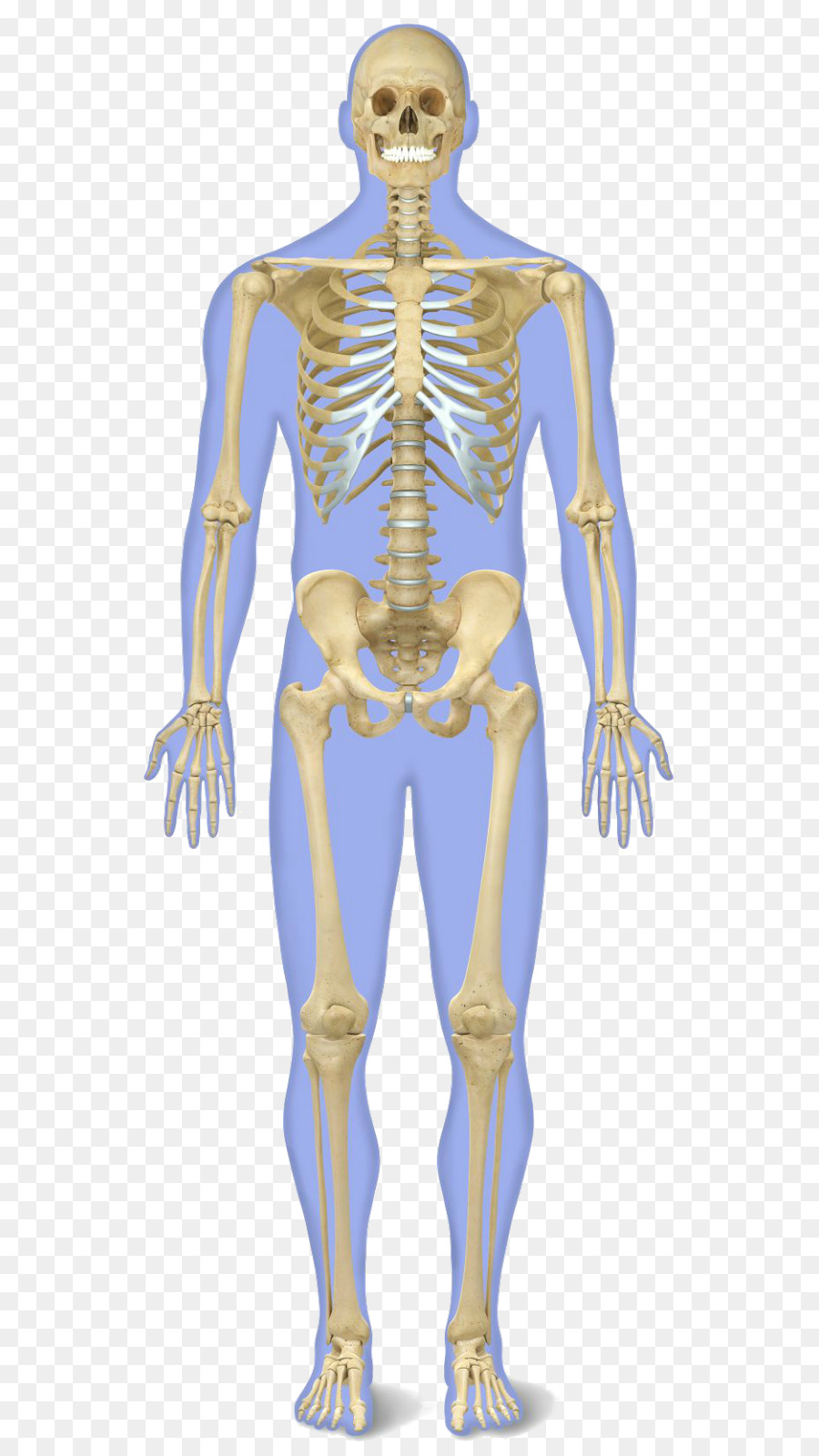 The Human Skeleton Human Body Anatomy Bones Png Download 615
