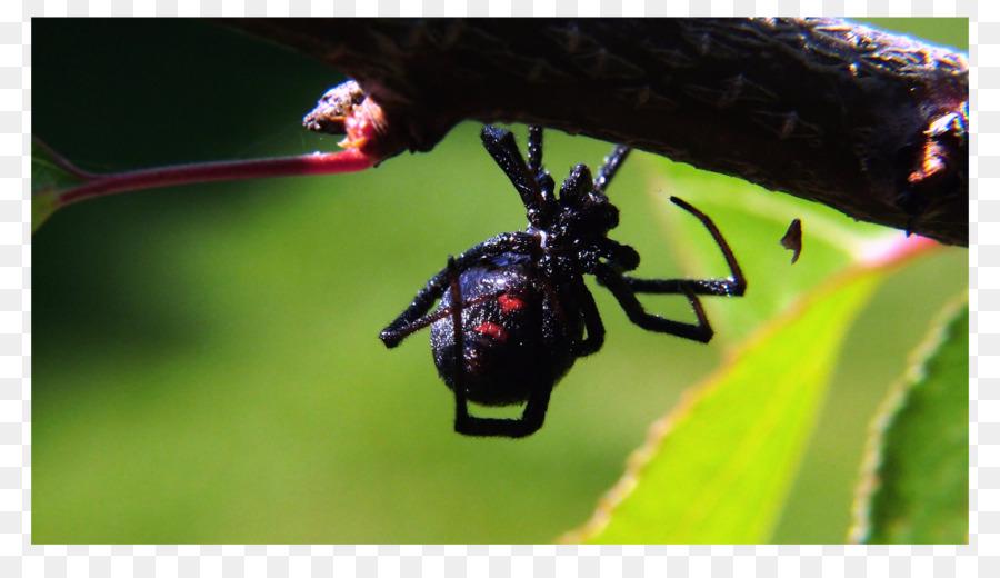 La araña reclusa parda Meridional de la viuda negra de Control de ...