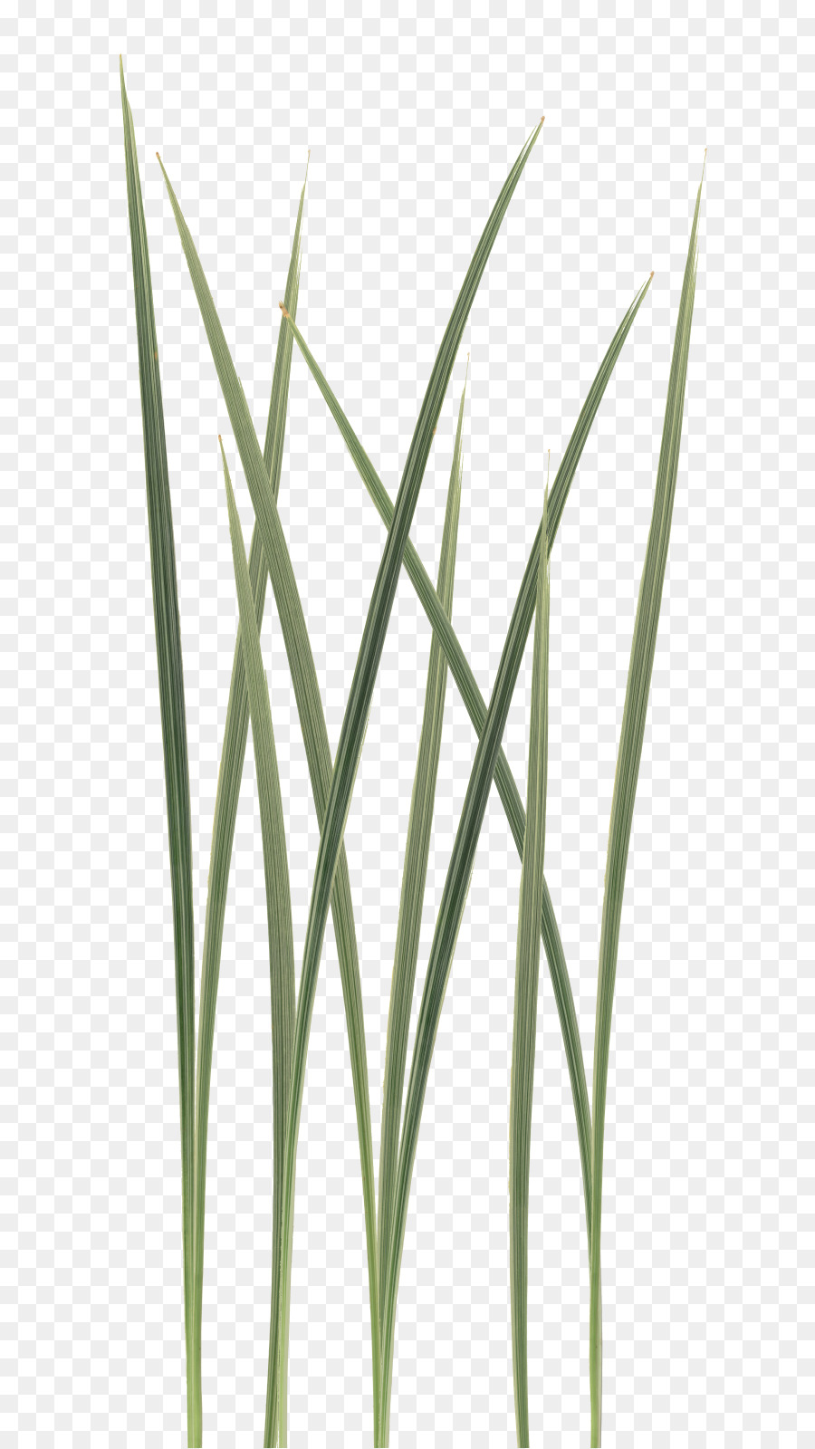 Grass Leaf Texture png download - 682*1599 - Free Transparent