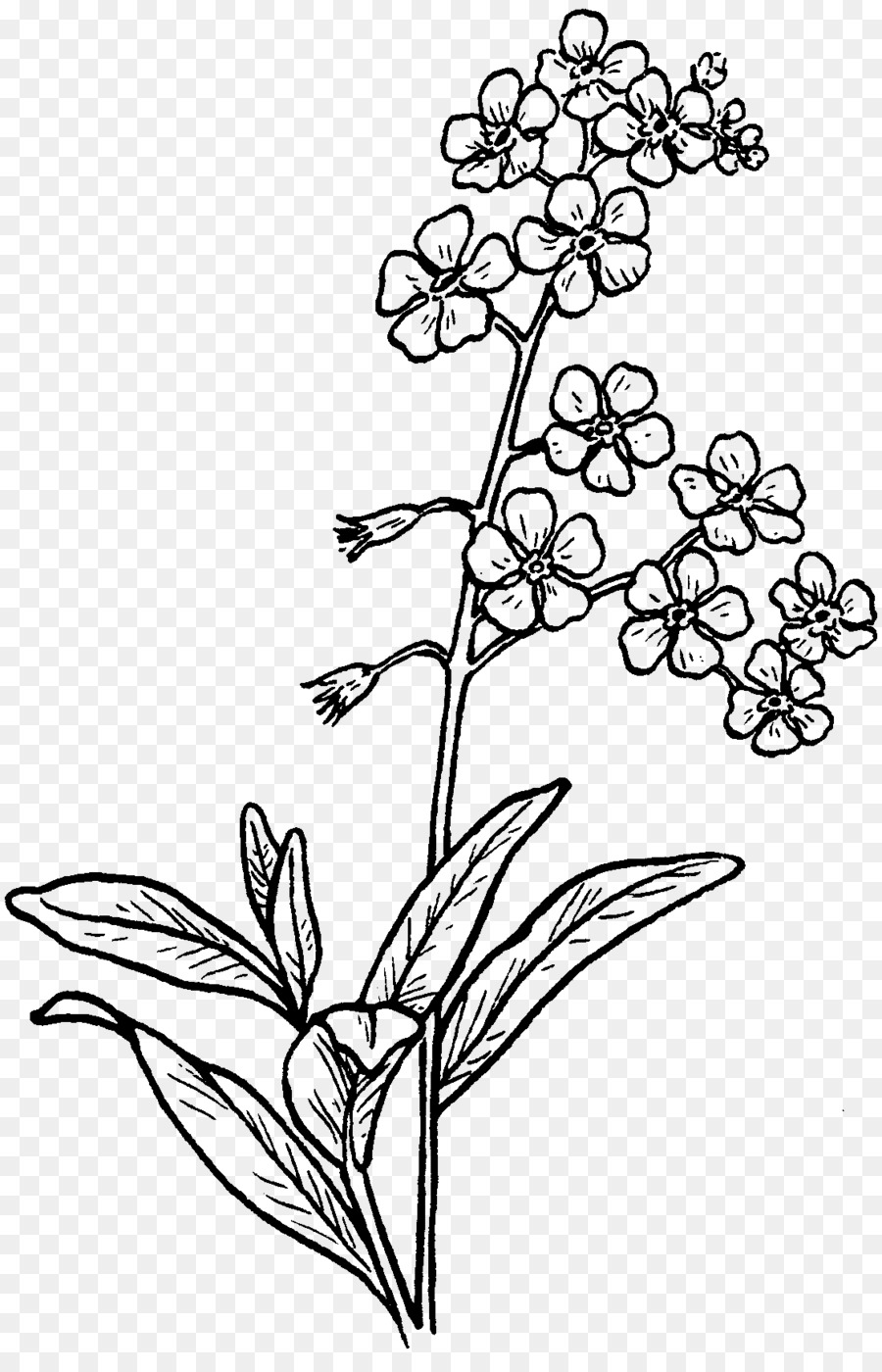 Drawing myosotis scorpioides sketch jasmine flower png download drawing myosotis scorpioides sketch jasmine flower izmirmasajfo