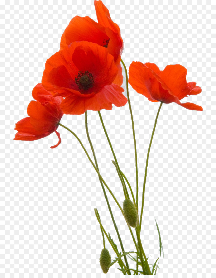 Common Poppy Flower Remembrance Poppy Petal Pantheon Png Download