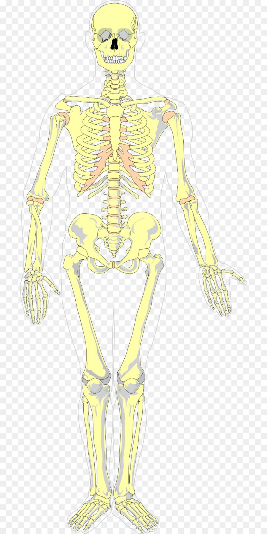 Human skeleton diagram axial skeleton homo sapiens bones png human skeleton diagram axial skeleton homo sapiens bones ccuart Choice Image