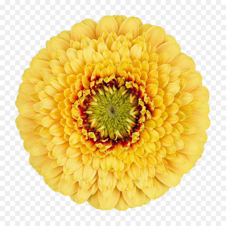 Transvaal Daisy Cut Flowers Chrysanthemum Wholesale Gerbera Png