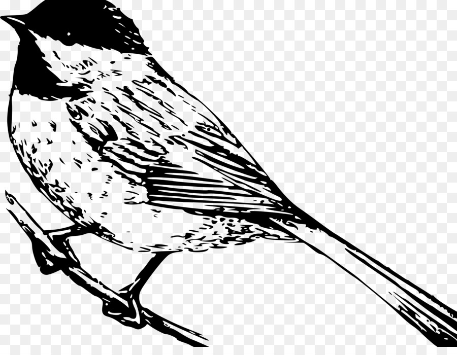 Black Capped Chickadee Coloring Book Drawing Carolina