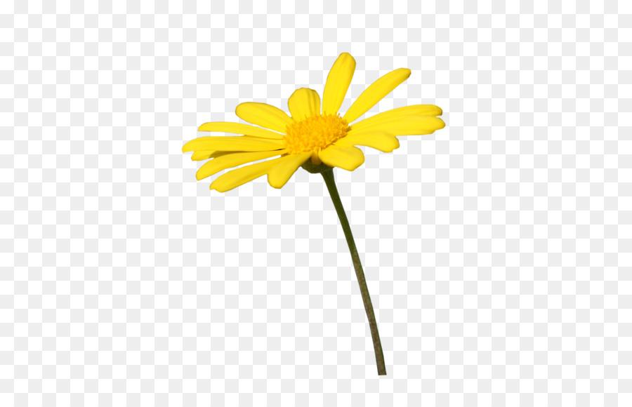 Daisy familia Común daisy margarita Flor de Transvaal daisy - cal ...