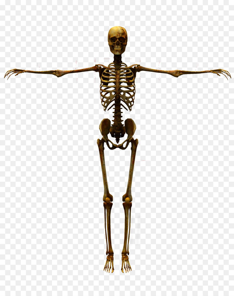 Human Skeleton Human Body Bones Png Download 16002000 Free