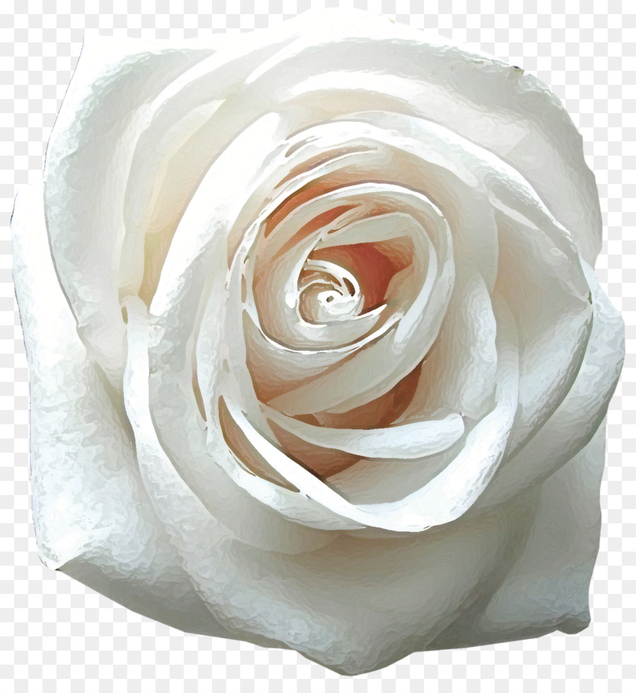 Rose desktop wallpaper flower white mobile phones white roses png rose desktop wallpaper flower white mobile phones white roses mightylinksfo