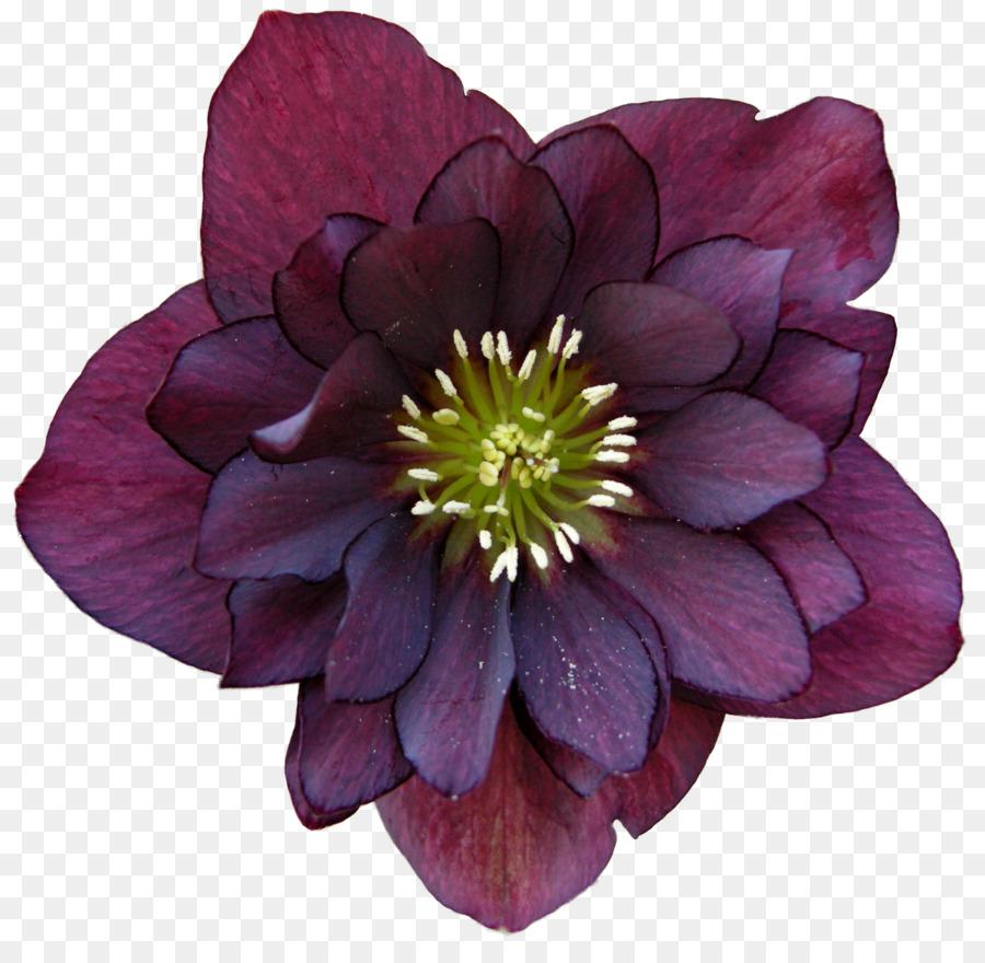Helleborus Niger Helleborus Orientalis Perennial Plant Flower Garden