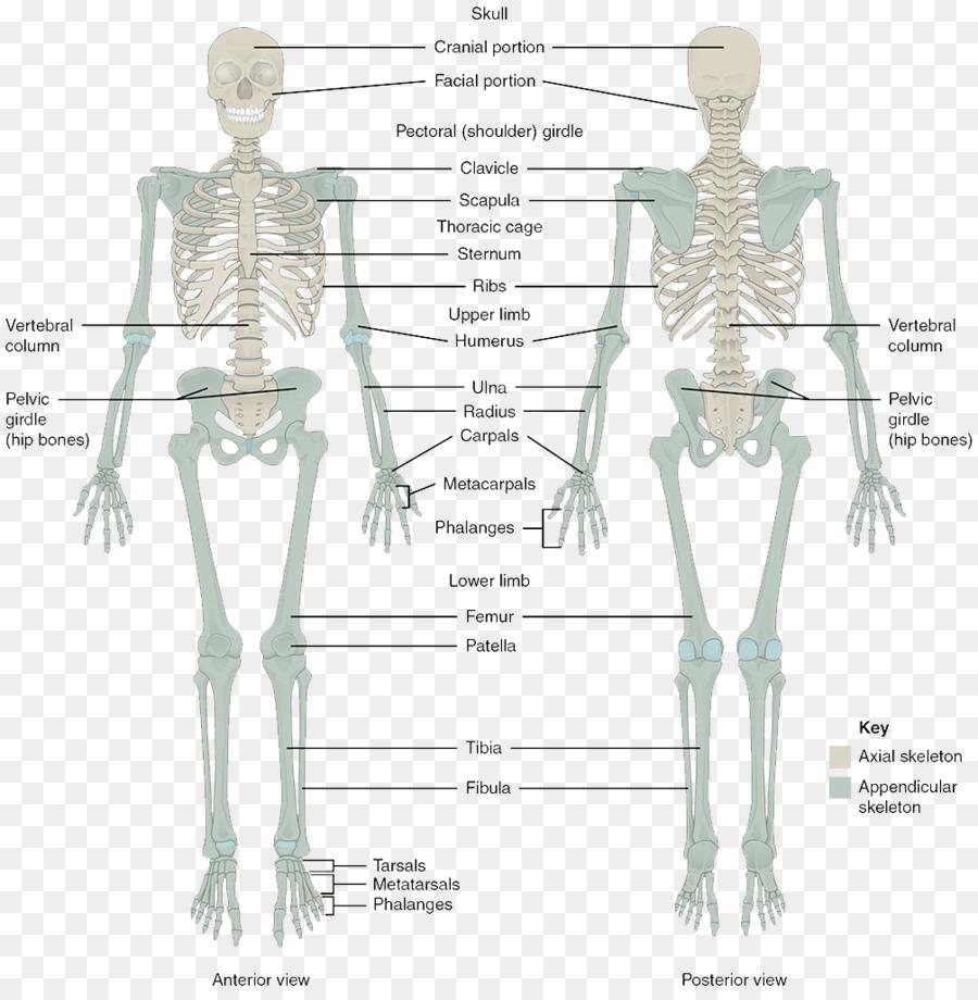 El Sistema Esquelético Humano esqueleto del cuerpo Humano Anatomía ...