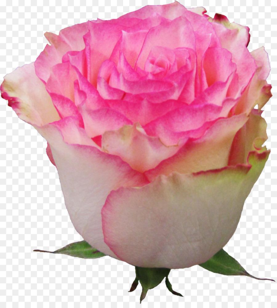 garden roses flower esperance euroflora pink rose png download