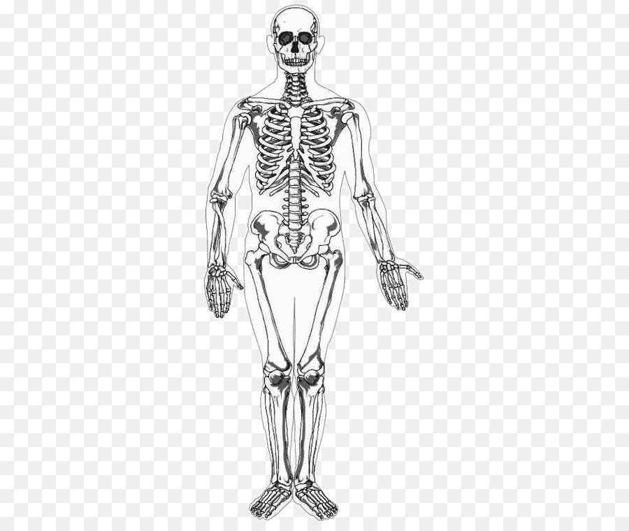Human Skeleton Human Body Homo Sapiens Drawing Human Bones Png