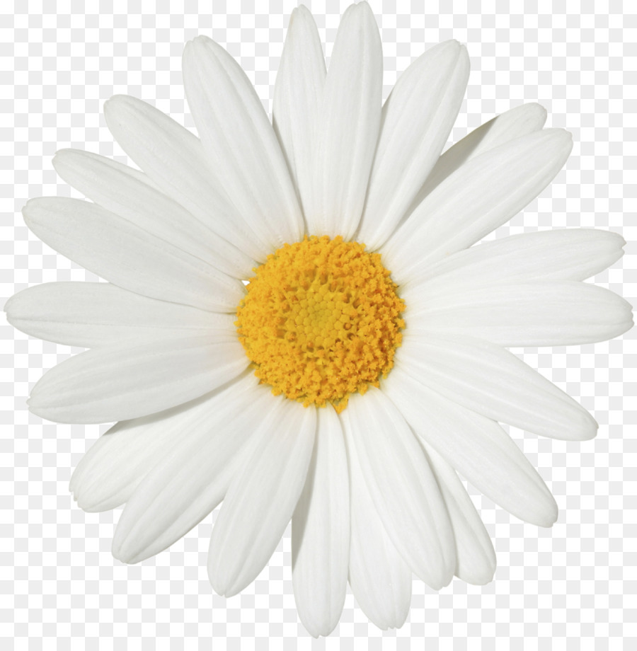 Common daisy stock photography transvaal daisy flower clip art common daisy stock photography transvaal daisy flower clip art margarita izmirmasajfo
