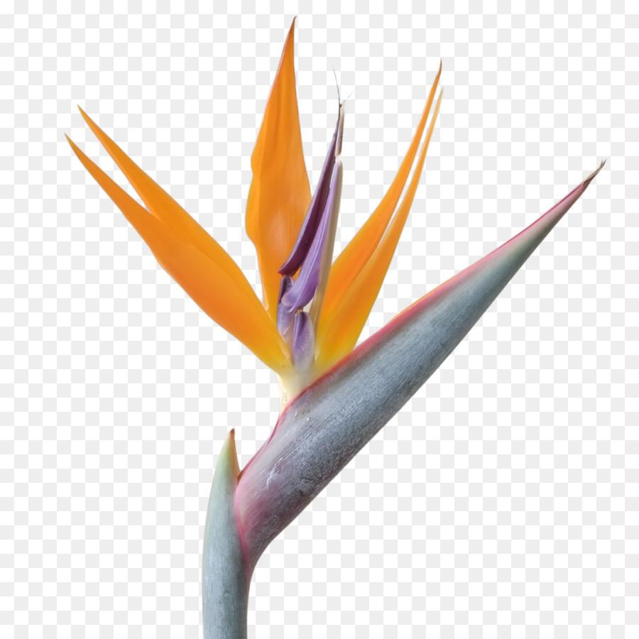 Bird Of Paradise Bird Of Paradise Flower Quarterback Sunflower Png
