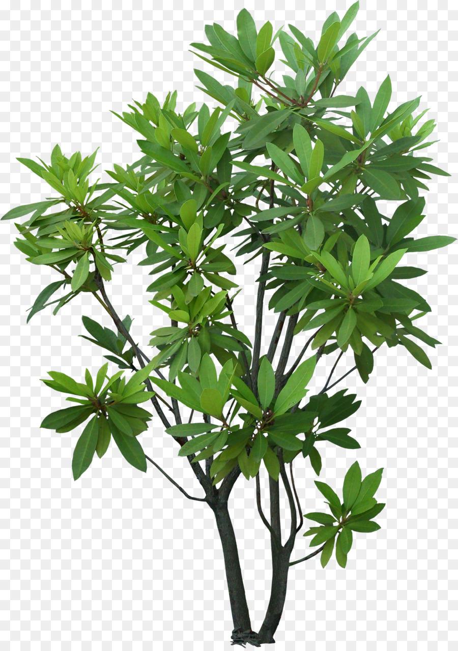 Rbol arbusto planta de hoja perenne jard n rbol png for Arboles para jardin de hoja perenne