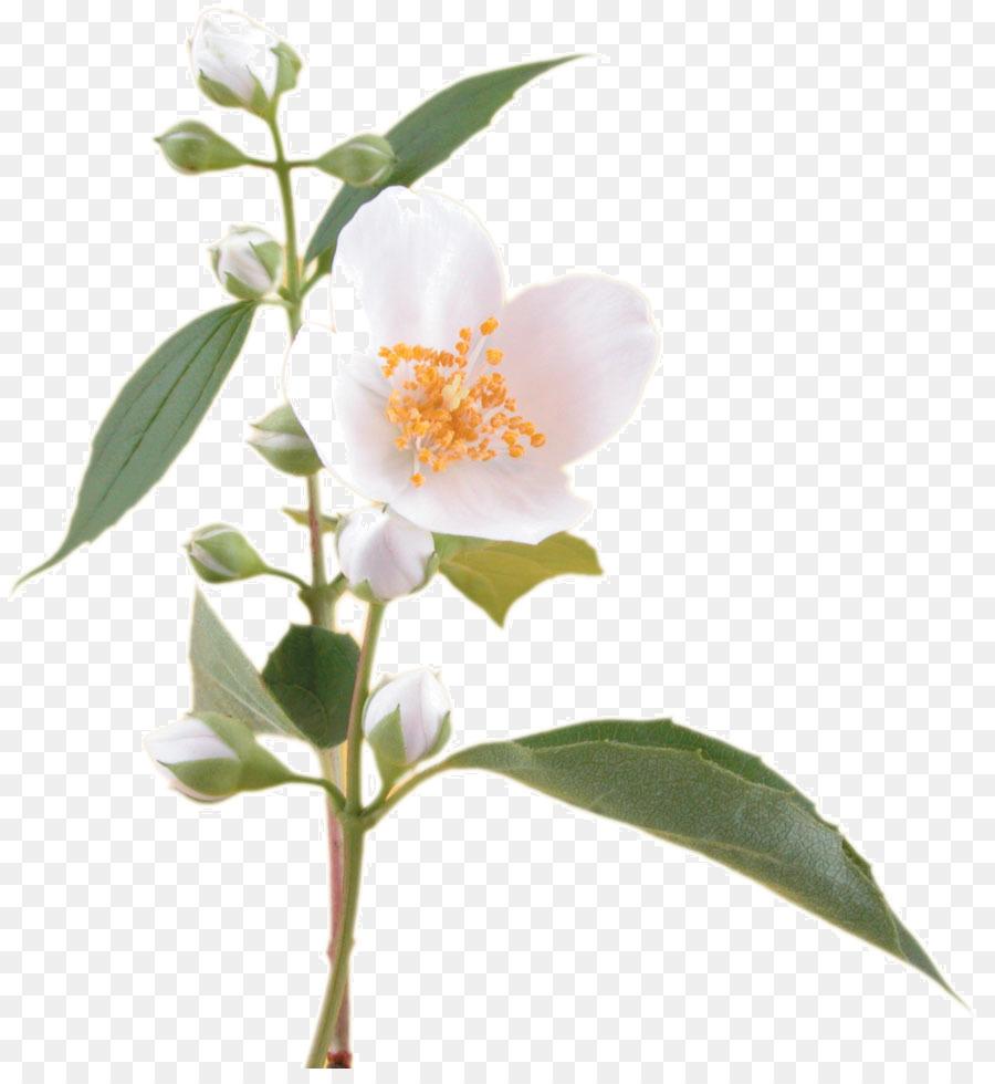 Fragrance oil flower arabian jasmine soap jasmine png download fragrance oil flower arabian jasmine soap jasmine izmirmasajfo