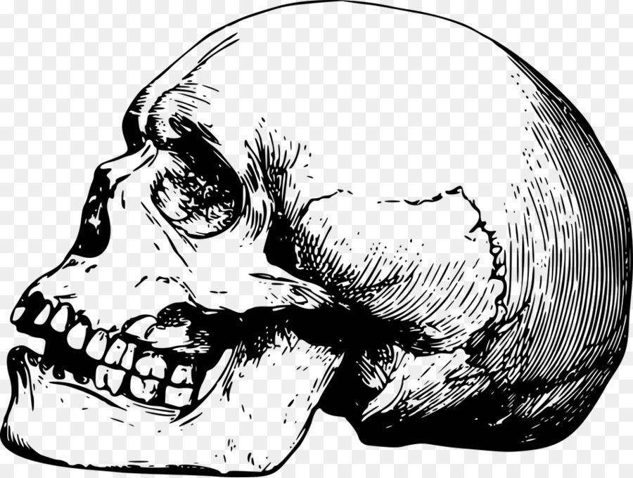 Skull Drawing Bone Skeleton - anatomy vector png download - 954*720 ...