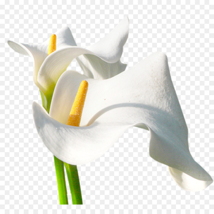 Arum Lily Flower Photography Flor Png Download 10241024 Free