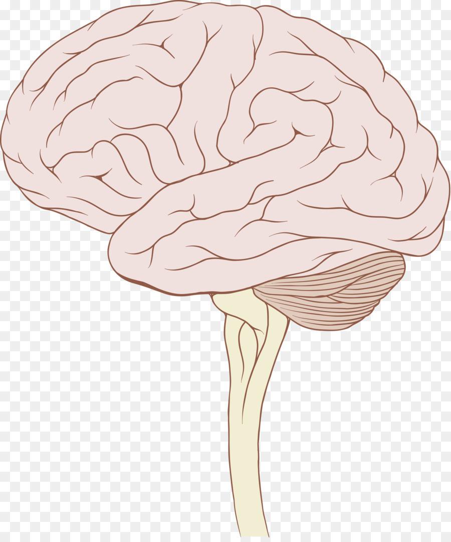 Brainstem glioma Human brain Brain stem tumor - Brain png download ...