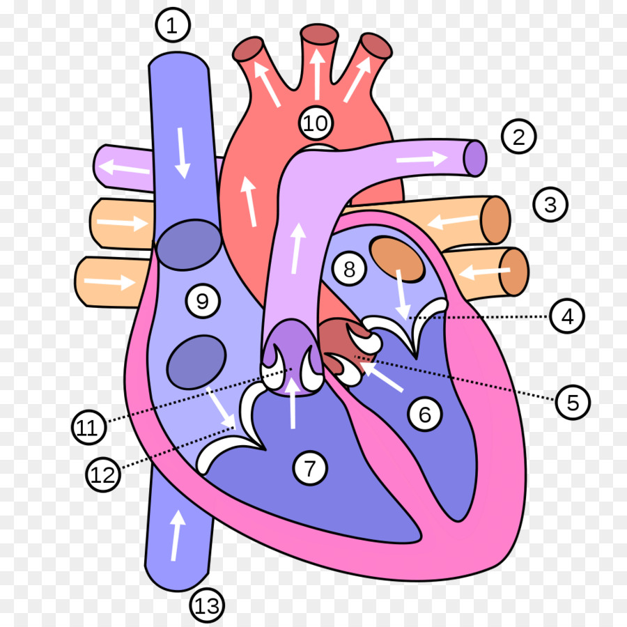 Heart Human Body Anatomy Diagram Vein Heart Attack Png Download