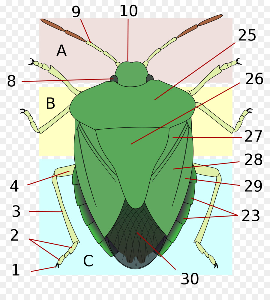 Insect wing Stink bugs Heteroptera Brown marmorated stink bug ...