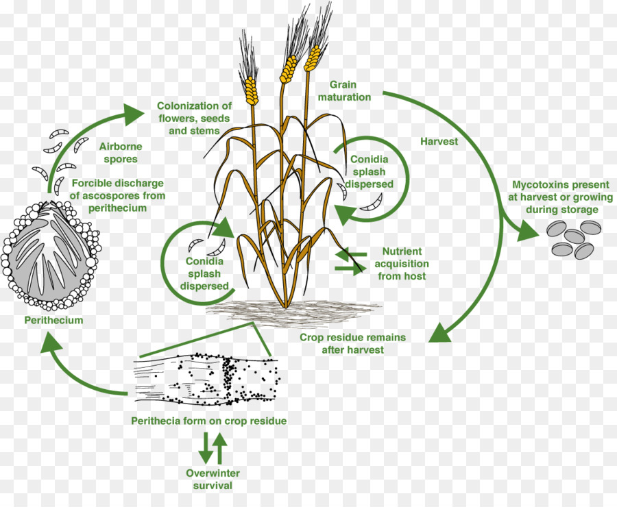 T 2 mycotoxin trichothecene food chain poultry png download 1124 t 2 mycotoxin trichothecene food chain poultry is about diagram grass family flora commodity area text grass tree plant flower plant stem line ccuart Image collections
