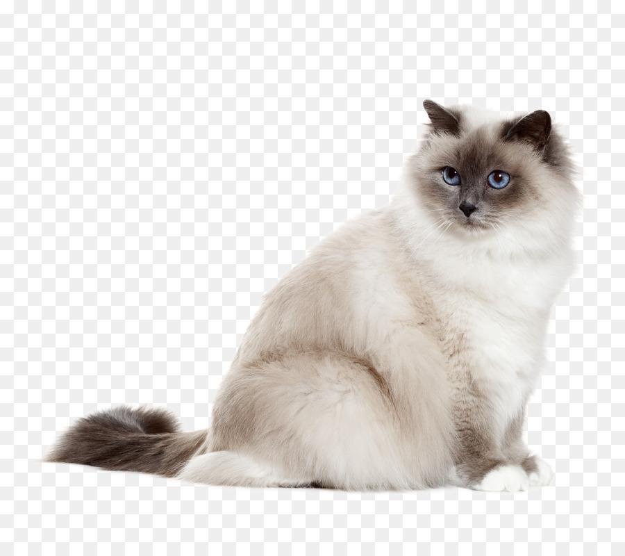 Birman Turkish Angora Sphynx Cat Kitten Ragdoll Ragdoll Png