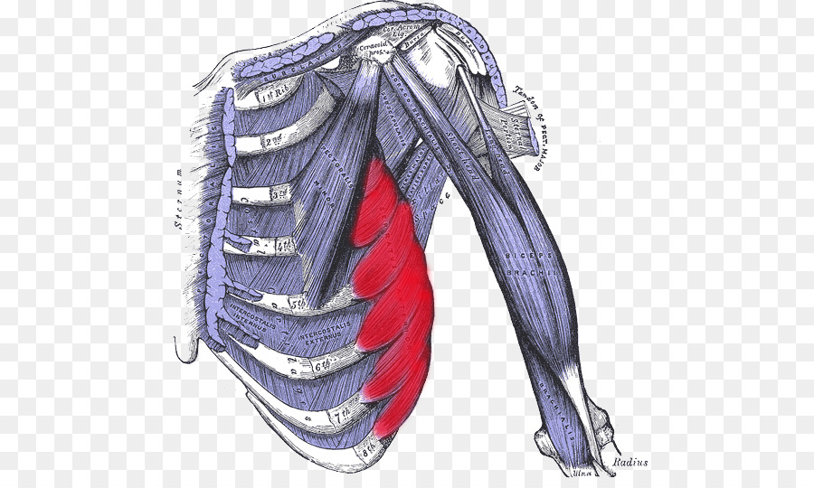External intercostal muscles Internal intercostal muscles ...